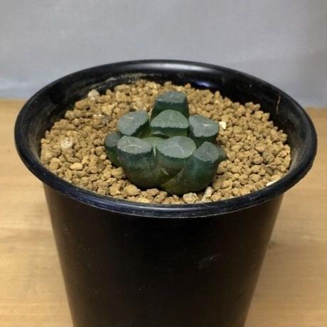 ハオルチア 万象 Haworthia mauganii (M00690)