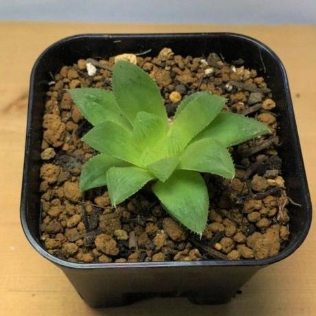 ハオルチア ルナ Haworthia cv. Luna (M00680)