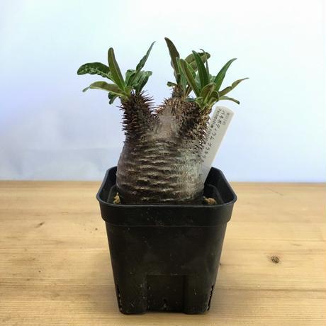 パキポディウム グラキリス Pachypodium rosulatum gracilius (M00345)