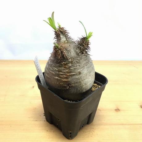 パキポディウム グラキリス Pachypodium rosulatum gracilius (M00351)