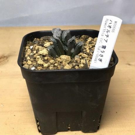 ハオルチア 雪うさぎ Haworthia cv. Yuki-Usagi (M00666)