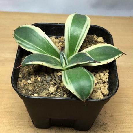 アガベ メリコ錦 Agave applanata cv. Cream Spike (M00682)