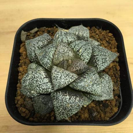 ハオルチア ピクタ Haworthia picta (M00245)