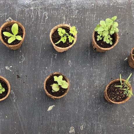 谷口めぐみ農園のベランダファーム用おまかせハーブandエディブルフラワー 苗8種