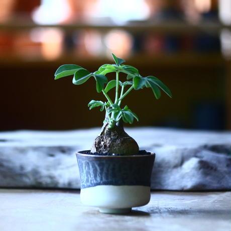 アデニア   グラウカ    Adenia glauca   no.70521