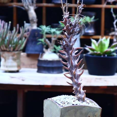 セロペギア  ディモルファ/Ceropegia dimorpha    no.50217