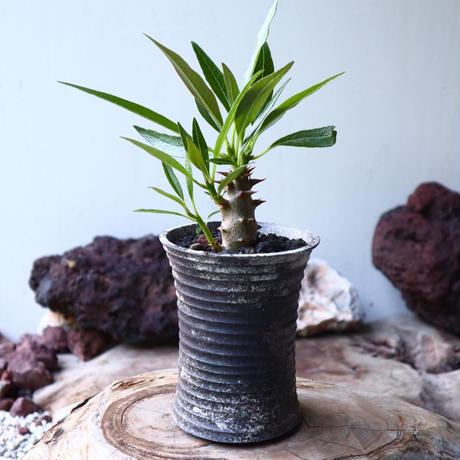 パキポディウム   バロニー  Pachypodium  baroniI  no.018