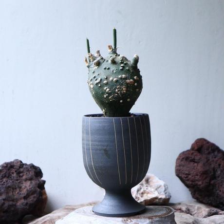 アデニア  グロボーサ      Adenia globosa       no.90814