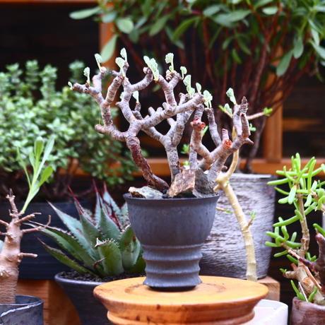 ペラルゴニム  ミラビレ/Pelargonium mirabile   no.91230