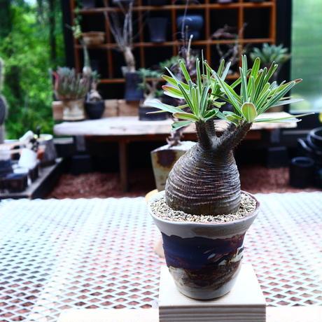 パキポディウム  グラキリス /Pachypodium  gracilius       no.50218