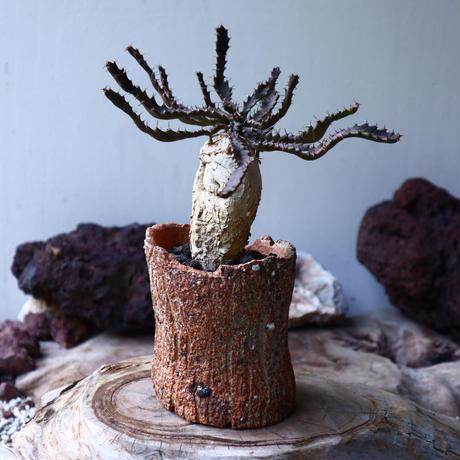 ユーフォルビア    スクアローサ  飛竜   Euphorbia squarrosa  no.009