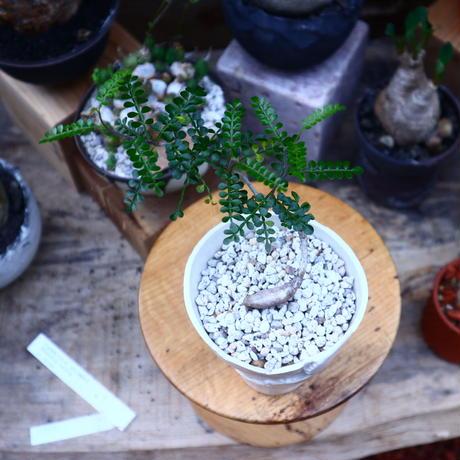 オペルクリカリア パキプス 実生/Operculicarya pachypus  no.71828