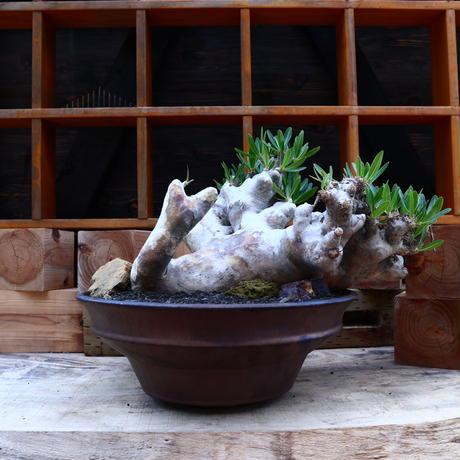 パキポディウム ブレビカリックス     Pachypodium densiflorum var. brevicalyx      no.60648