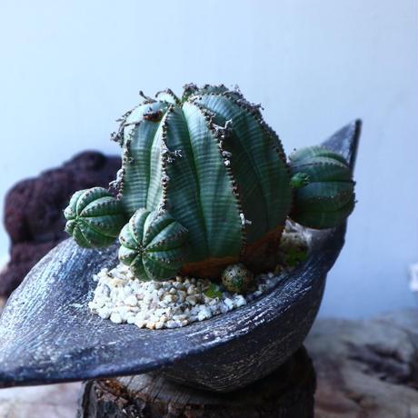 ユーフォルビア  バリダ     Euphorbia valida     no.72814