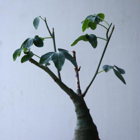 アデニア   グラウカ    Adenia glauca   no.002