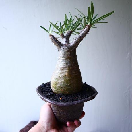 パキポディウム グラキリス Pachypodium rosulatum var. gracilius no.72112