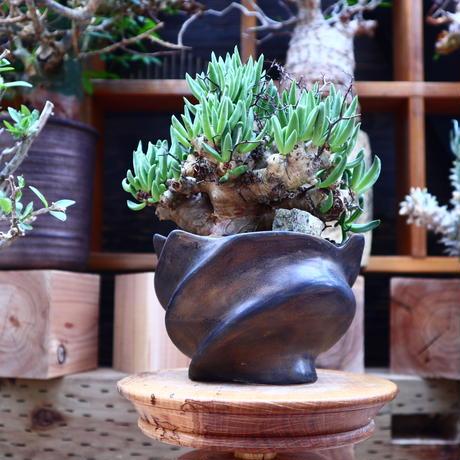 チレコドン  レスキュラーツ  万物想/Tylecodon  reticulate  no.60639