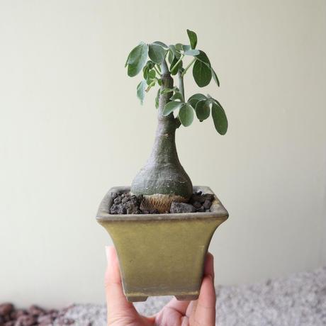 アデニア   グラウカ    Adenia glauca   no.72229