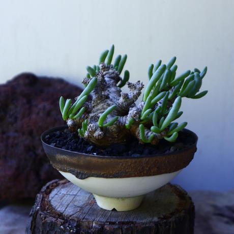 オトンナ クラビフォリア Othonna clavifolia   no.72803