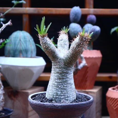 パキポディウム  イノピナツム/Pachypodium Inopinatum   no.71817