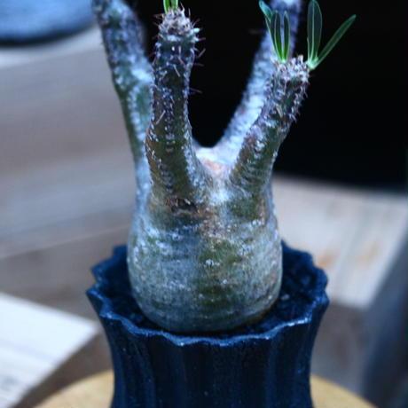 パキポディウム  グラキリス/Pachypodium  gracilius     no.100325