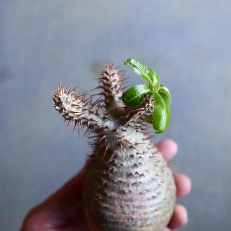 パキポディウム グラキリス   Pachypodium rosulatum var. gracilius no.110325
