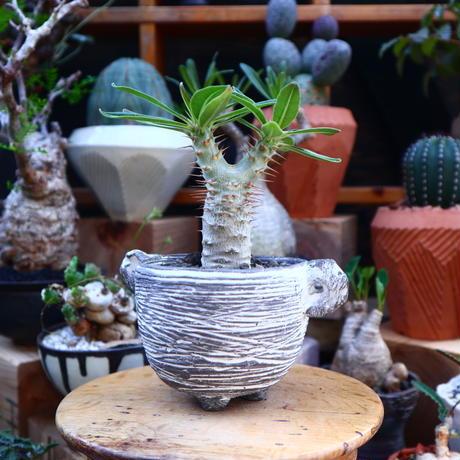 パキポディウム  カクチペス 実生/Pachypodium rosulatum var. cactipes    no.71841