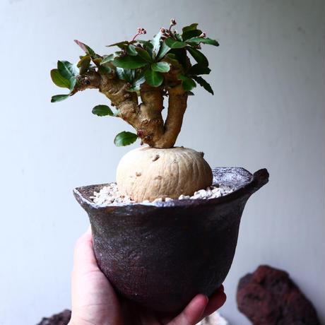 ユーフォルビア  スバポダ  Euphorbia subapoda  no.90113