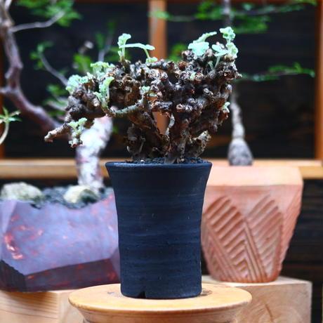 ぺラルゴ二ウム   エキナツム/Pelargonium  lechinatum   no.101021