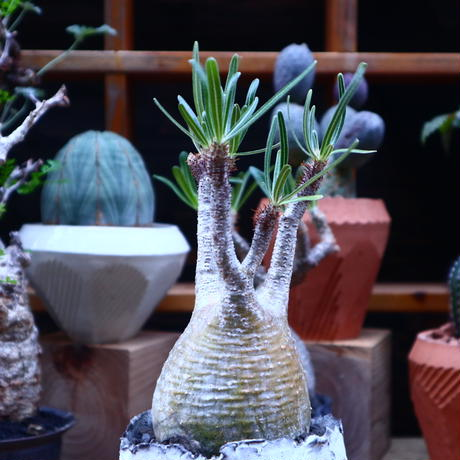 パキポディウム  グラキリス/Pachypodium  gracilius    no.71816