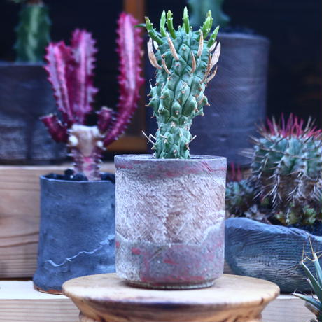 ユーフォルビア スコエンランディ 闘牛角   Euphorbia schoenlandii    no.32113
