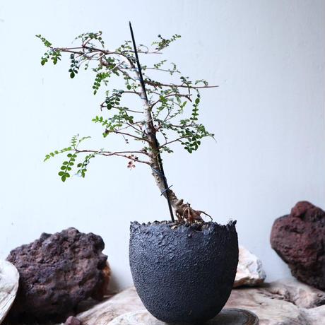 オペルクリカリア  デカリー  Operculicarya   decaryi  no.91521