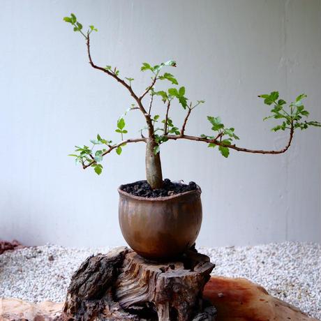 ブルセラ   ファガロイデス  no.014     Bursera fagaroides