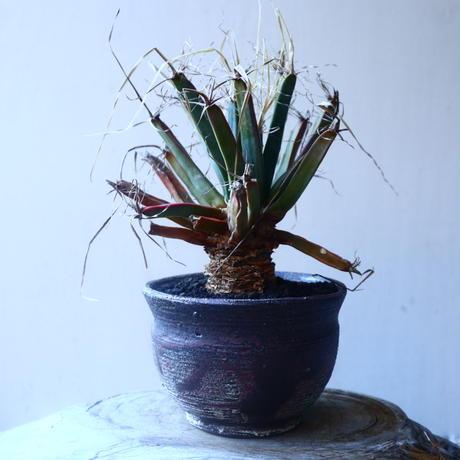 レウクテンベルギア  晃山    Leuchtenbergia principis  no.20207