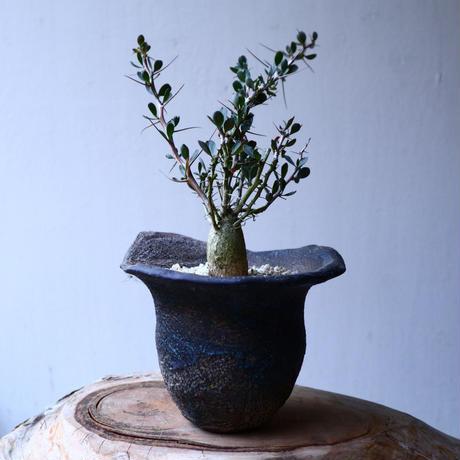 フォークイエリア  コルムナリス  Fouquieria columnari   no.20321