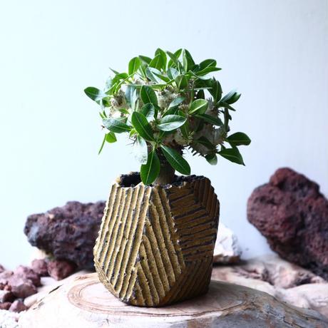 パキポディウム  エブレネウム  恵比寿笑い(接)Pachypodium eburneum    no.001