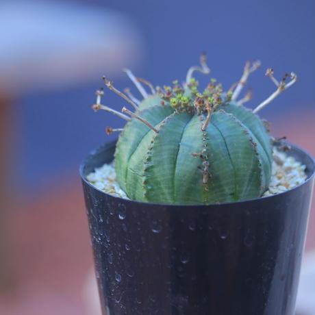ユーフォルビア  バリダ  ♀    Euphorbia valida    no.20729