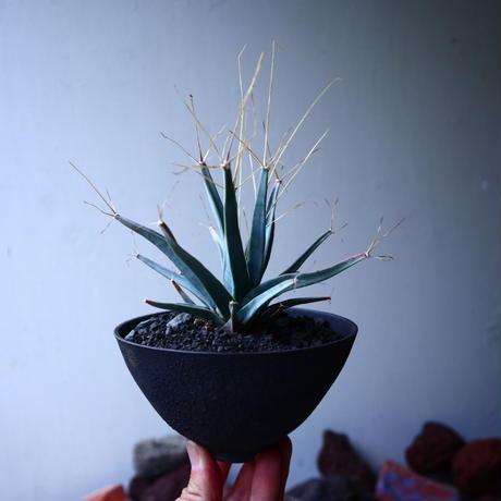 レウクテンベルギア  晃山    Leuchtenbergia principis  no.32910