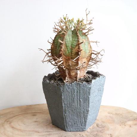 ユーフォルビア  バリダ  (スーパーバリダ) no.011   Euphorbia   Super  valida