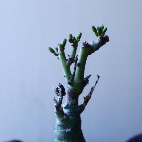 アデニア   グラウカ    Adenia glauca   no.30123