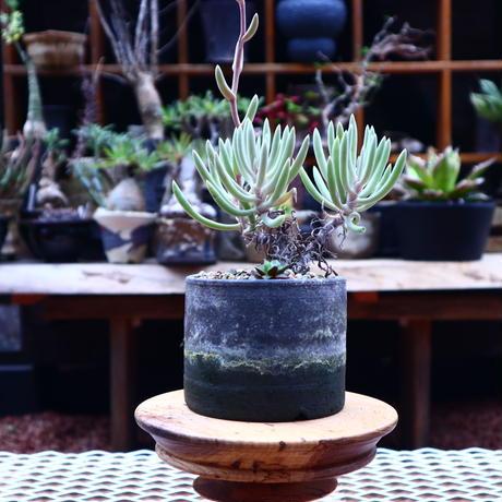ダドレア オルクッティ/Dudleya attenuata ssp. orcutii    no.50232