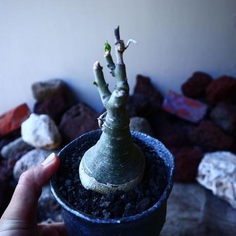 アデニア   グラウカ    Adenia glauca   no.32213