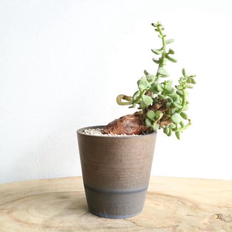 ケラリア  ピグマエア  no.009  Ceraria pygmaea