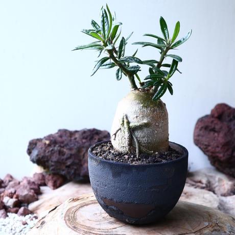パキポディウム  サキュレンタム    Pachypodium Succulentum  no.004