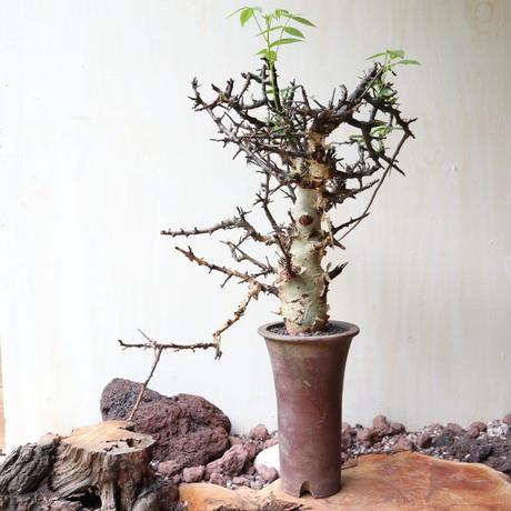 コミフォラ   アフリカーナ    no.007    Commiphora africana