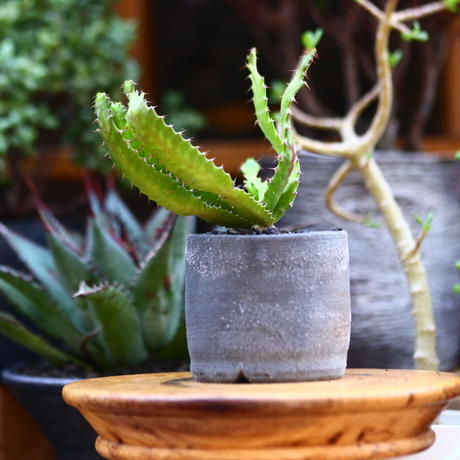ユーフォルビア  飛竜   スクアローサ   Euphorbia  squarrosa  no.91219