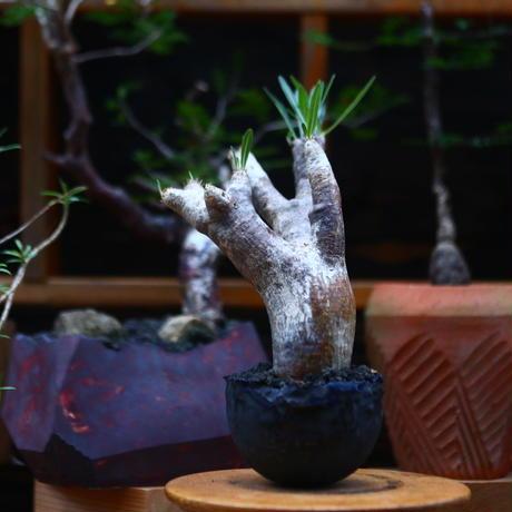パキポディウム  イノピナツム/Pachypodium Inopinatum   no.101046
