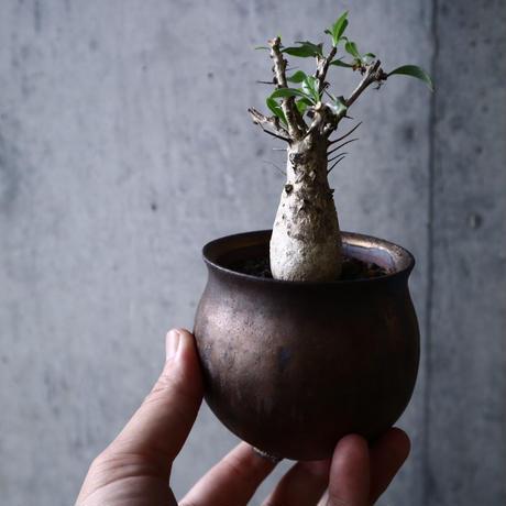 フォークイエリア   コルムナリス     Fouquieria columnari   no.006
