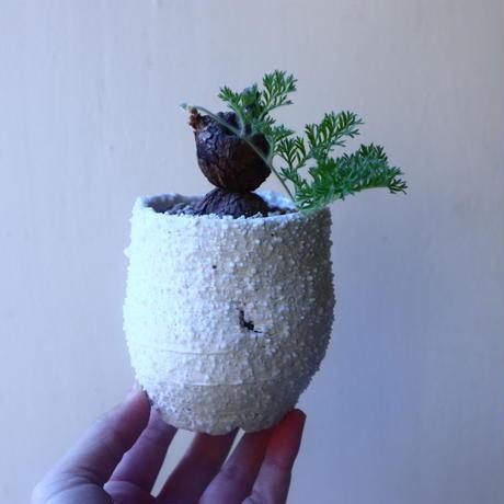 ペラルゴニウム  トリステ    Pelargonium triste   no.20216