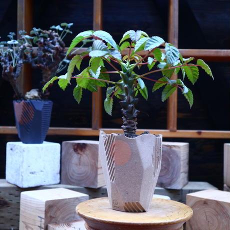 ベイセリア  メキシカーナ 実生/Beiselia mexicana      no.71811